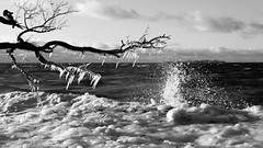 Frozen trees at Baltics (Suicidal_zombie) Tags: russia russie russland saintpetersburg stpetersburg finnish gulf baltic sea water snow ice frost frozen tree shore landscape seascape waterscape monochrome monotone black white bw nature winter winterscape snowscape branch sunny icicles