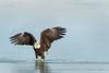 Icy Eagle (Amy Hudechek Photography) Tags: bald eagle raptor winter ice lake water colorado highline amy hudechek nature wildlife