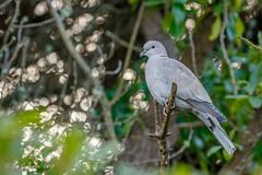 Eurasian Collared -Dove (Bob Gunderson) Tags: birds california eurasiancollareddove lakemerced northerncalifornia pigeonsdovesparrots sanfrancisco streptopeliadecaocto