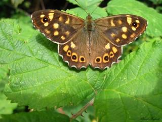 Butterfly 1567