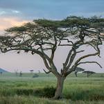 Acacia Tree thumbnail