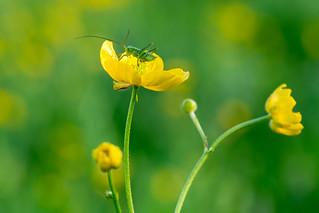 Langfühlerschrecke auf Butterblume | Bush crickets on Buttercup