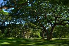 Moanalua Garden Trees (trailwalker52) Tags: hawaii oahu moanalua moanaluagarden moanaluagardens garden gardens relaxing peaceful light beautiful lightthroughthetrees park