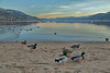 AS The Day Turns Into Night (joeinpenticton Thank you 1.9 Million + views) Tags: duck ducks mallard mallards penticton bc british columbia birds joeinpenticton joe jose garcia wild life wildlife beach ok okanagan okanogan valley lake skaha buoys buoy float sun set rise sunset sunrise afternoon keleden falls east side road handout feed feeding