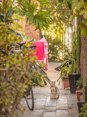 Al fondo, un gato (Eugercios) Tags: gato cat chat gatinho animal pet mascota calle street barrio italia verde plantas plants callejon cite providencia ñuñoa santiago santiagodechile chile