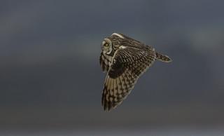 Short-eared owl - More sense than human's