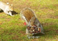 Squirrel with shopping cart (4) (Simon Dell Photography) Tags: winter spring grey animal nature together wildlife sheffield botanical gardens simon dell photography 2018 feb 24 with trolley shopping cart cute funny awesome mini micro full nuts