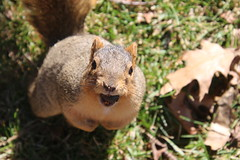 Squirrels On a Warm Late Winter's Day in Ann Arbor at the University of Michigan (February 27th, 2018) (cseeman) Tags: gobluesquirrels squirrels annarbor michigan animal campus universityofmichigan umsquirrels02272018 winter eating peanut februaryumsquirrel sunny bright latewinter