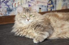 Kalinka 11 m (valerkav) Tags: сибирская кошка