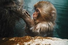 Baby Snow Monkey (moaan) Tags: yamanouchi nagano japan monkey snowmonkey japanesemacaque bathingmonkey grooming profile portrait monkeyportrait jigokudani jigokudanispa jigokudanisnowmonkeypark animal domesticanimal ricohgxr gxrmounta12 superangulon21mmf34 leicasuperangulon21mmf34 utata 2018 hotsprings onsen