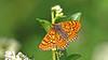 Marsh Fritillary - Euphydryas aurinia (jaytee27) Tags: marshfritillary bulgaria euphydryasaurinia naturethroughthelens