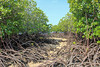 Mangroves and their aerial roots (blue.forests) Tags: seagrass mangroves indonesia lembongan blue forests aerial roots mangrove habitat ecosystem coastal fieldwork boat mud crabs beach