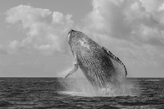 Humpback Breach (Daniel Trim) Tags: breaching jumping humpback whale cetacean ils sainte marie ilse saint sea monochrome black white madagascar nature wildlife photography indian ocean africa