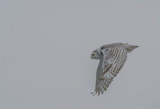 Harfang des neiges/Snow Owl -10754