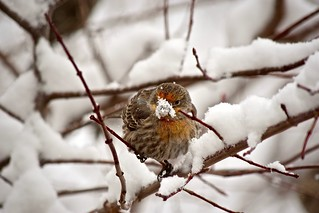 Male House Finch's Snow Mask:  Staying Hydrated