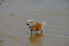 20180126-DSCF2249 (PM Clark) Tags: chihuahua long coat pure bred