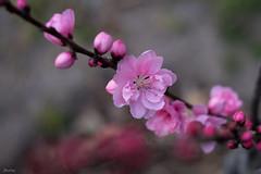 Peach Blossom (JIturbe) Tags: flower flor blossom peach durazno primavera spring nature naturaleza minolta50mm17