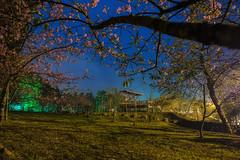 小半天石馬公園夜櫻 (bibi.barbie) Tags: taiwan 南投縣 鹿谷鄉 小半天 石馬公園 櫻花 夜櫻 夜景 風景 天空
