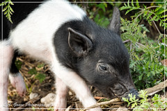 Little Guy (photosbylag) Tags: circleb alligators cardinal greenheron hogs piglets