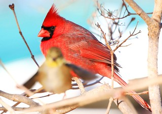 northern cardinal male at American goldfinch at Lake Meyer Park IA 854A9839