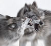 snarling wolves (marianna_a.) Tags: p1810354 snarling fighting timber wolf wolves animal wild captive omega park mariannaarmata winter canada hss