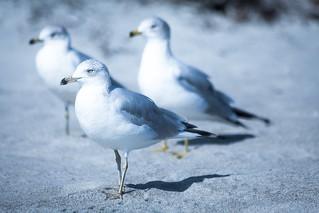 Seagulls in silence