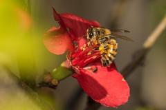 Flower & Bee (mon_ster67) Tags: upclose redflower macrophotography honeybee mon ©mon canon macro closeup flower pollen flowerbee red insect ef100mmf28lmacroisusm canoneos7dmarkll garden outdoor flyinginsect buzz macrofotografía
