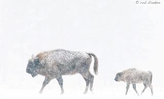 European Bison (5)
