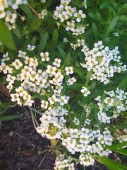 Lobularia maritima (Iggy Y) Tags: lobulariamaritima lobularia maritima autumn blossom flower white color flowers green leaves češljika sweetalyssum sweetalison sunny day light