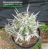 Stenocereus treleasei (Pic #6 apex & spination detailed close up) (mattslandscape) Tags: stenocereus treleasei cereus lemaireocereus rathbunia tunillo oaxaca mexico kakteen cactus cacti william trelease rareplants rarefruit