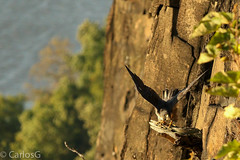 peregrine falcon (Falco peregrinus) (Gogolac) Tags: 2017 aves birdphotography birdie birds canon7dmii falcoperegrinus fauna location ny newyork palisadestatepark park peregrinefalcon statepark usa year birdspot birdsspotters fotografiasrealizadasenel2017