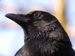 Crow (libra1054) Tags: crow krähe corvus corneja corneille cornacchia corvo birds vögel aves uccelli oiseaux black schwarz negro nero noir preto fauna macro closeup nature natura 7dwf