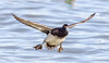 Lesser Scaup Drake (tresed47) Tags: 2018 201801jan 20180131eastmarylandbirds birds cambridge canon7d content ducks folder lesserscaup maryland pennsylvania peterscamera petersphotos places scaup season takenby us winter ngc npc