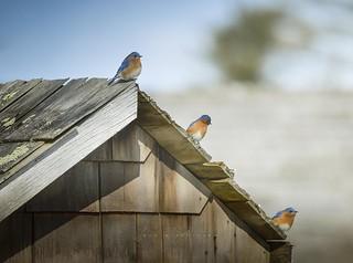 My first bluebirds!