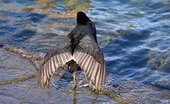 Abat jour de plumes (Diegojack) Tags: morges vaud insolite oiseaux foulques macroule plumes plumage eau
