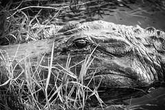 eye to eye (Everglades) (frank.gronau) Tags: eye auge black white weis schwarz sumpf miami krokodil alligator everglades alpha sony gronau frank