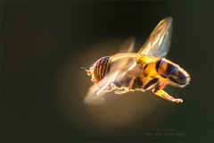 Back lit Hover-Fly (Red Gecko Photography) Tags: backlight hoverfly closeup insect flying bugs flight orange andalucia spain