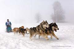 Sled dog race (My Planet Experience) Tags: siberian husky huskies alaskan malamute team dog animal nordic sled snow retordica race racing running musher mushing pulka pulk sledge sleigh white winter alaska yukon siberia myplanetexperience wwwmyplanetexperiencecom