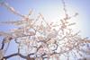 Today is a sunny day♪ - Nikon D3s & Nikon AF-S Nikkor 24mm f/1.4G ED (TORO*) Tags: nikon d3s af afs nikkor 24 24mm f14g f14 14 ed osaka castle park ume plum tree bokeh blur japan branch depth field white gradation sky flower spring