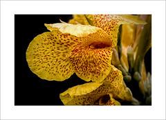 Yellow (DJ Wolfman) Tags: flower yellow orange contrast closeup olympusomd olympus em1markii 12100mmf4zuiko zuiko zd micro43 oklahoma tulsa tulsaok