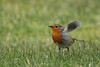 Wind beneath my wing (jillyspoon) Tags: robin feathers ruffled windbeneathwingsgrassgardengarden birdrspbbackred breastcanoncanon 70 d canon70200mm wildlife