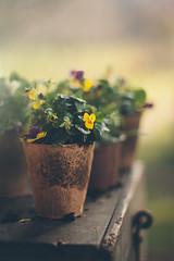 Gardening (2) (Inka56) Tags: 7dwf macroorcloseup hbw flowers gardening pots plants boxforgardeningtools bokeh pentaxm11450mm pentaxart closeup manualfocus oldlens throughherlens