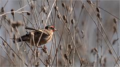 LR7-PGH50579 (JB89100) Tags: 2018 chardonneret moulinatan oiseaux sens ou quoi
