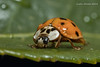 Speckled Ladybug (strjustin) Tags: macromondays speckled macro ladybug insect bug beautiful leaf