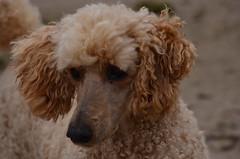 Laika (Frank Berbers) Tags: laika koningspoedel grandcaniche grospudel grotepoedel poedel hond huisdier standardpoodle poodle pudel nikond5100 2018 gelderland harderwijk strand nederland