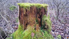 "Lebensraum Totholz / Habitat deadwood / Habitat bois mort (warata) Tags: 2018 deutschland germany süddeutschland southerngermany schwaben swabia oberschwaben upperswabia schwäbischesoberland badenwürttemberg ""samsung galaxy note 4"" totholz ""habitat dead"" ""lhabitat du bois mort"""