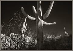 Sabino Canyon IR #15 2018; The Four Points of the Cactus (hamsiksa) Tags: infrared digitalinfrared blackwhite photos landscape scenic botanical sabinocanyonnationalrecreationarea coronadonationalforest santacatalinamountains bajada desert sonorandesert tucson pimacounty arizona southwest plants flora xerophytes succulents cacti cactus cactaceae saguaro carnigieagigantea columnarcacti