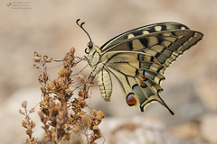 Papilio machaon (Pipa Terrer) Tags: papiliomachaon mariposa butterfly insecta lepidoptera campodecartagena