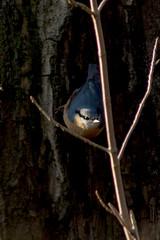 Kleiber (planetvielfalt) Tags: auenwald aves passeriformes sittidae leipzig sachsen deutschland