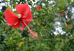 WOL Calauan Laguna Philippines Day 7 (24) (Beadmanhere) Tags: philippines flowers